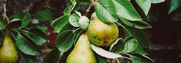 pear-tree-dan-gold-unsplash.jpg