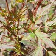 Tree-Peony-foliage-homepage-slider.jpg