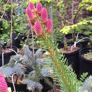 Picea-acrocona-spruce.jpg
