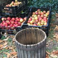 apple-bunches-organic-orchard.jpg