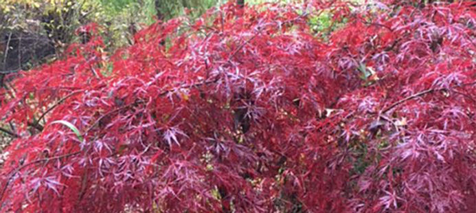 japanese-maple-tree-page.jpg