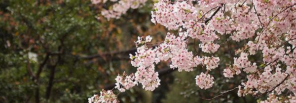 cherry-blossom-tree-unsplashed.jpg