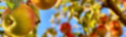 apple-tree-timotheus-frobel.jpg