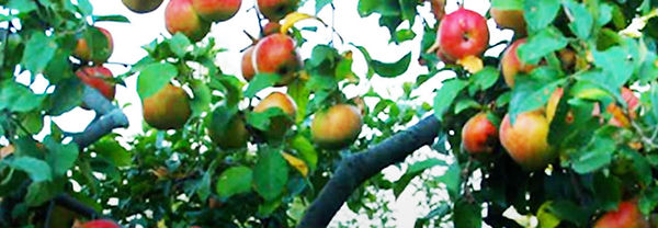 apple-orchard-fruit-trees-brightened.jpg