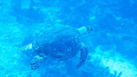 Calabash Caye A Popular Turtle Destination Again?