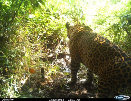 jaguar jumping through fence.jpg