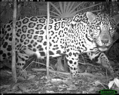 jaguar_cameratrap.jpg