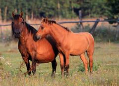 konie na łące 2