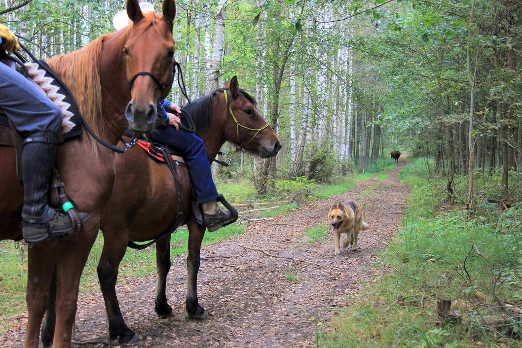 konie i żubr