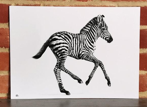 'Born Free' Zebra Foal