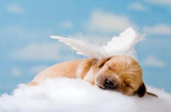 Foto pet anjo cachorro - Quando eles se vão