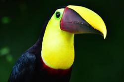 Wonderful toucan