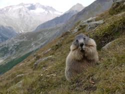Marmotte Saas Fee