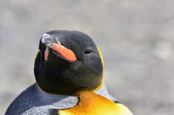 South Georgia King Penguin