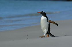 Falklands Gentoo morning walk