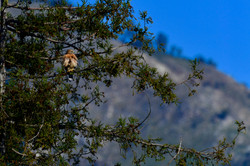 Red tailed hawk, Big Sur 2017