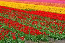 Holland bulb fields