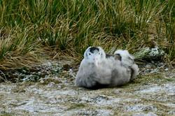 South Georgia Wandering Albatross