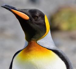 South Georgia, King Penguin