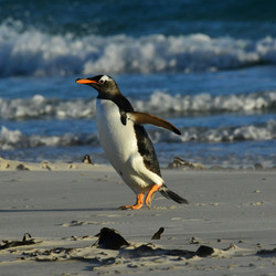 Falklands, Gentoo penguin