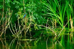 Kingfisher Belgium 2017