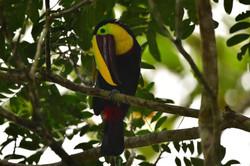 Toucan in the rain Costa Rica 2015
