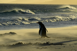 Falklands, Gentoo penguin at dawn