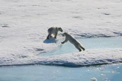 Polar bear cubs, Svalbard 2015