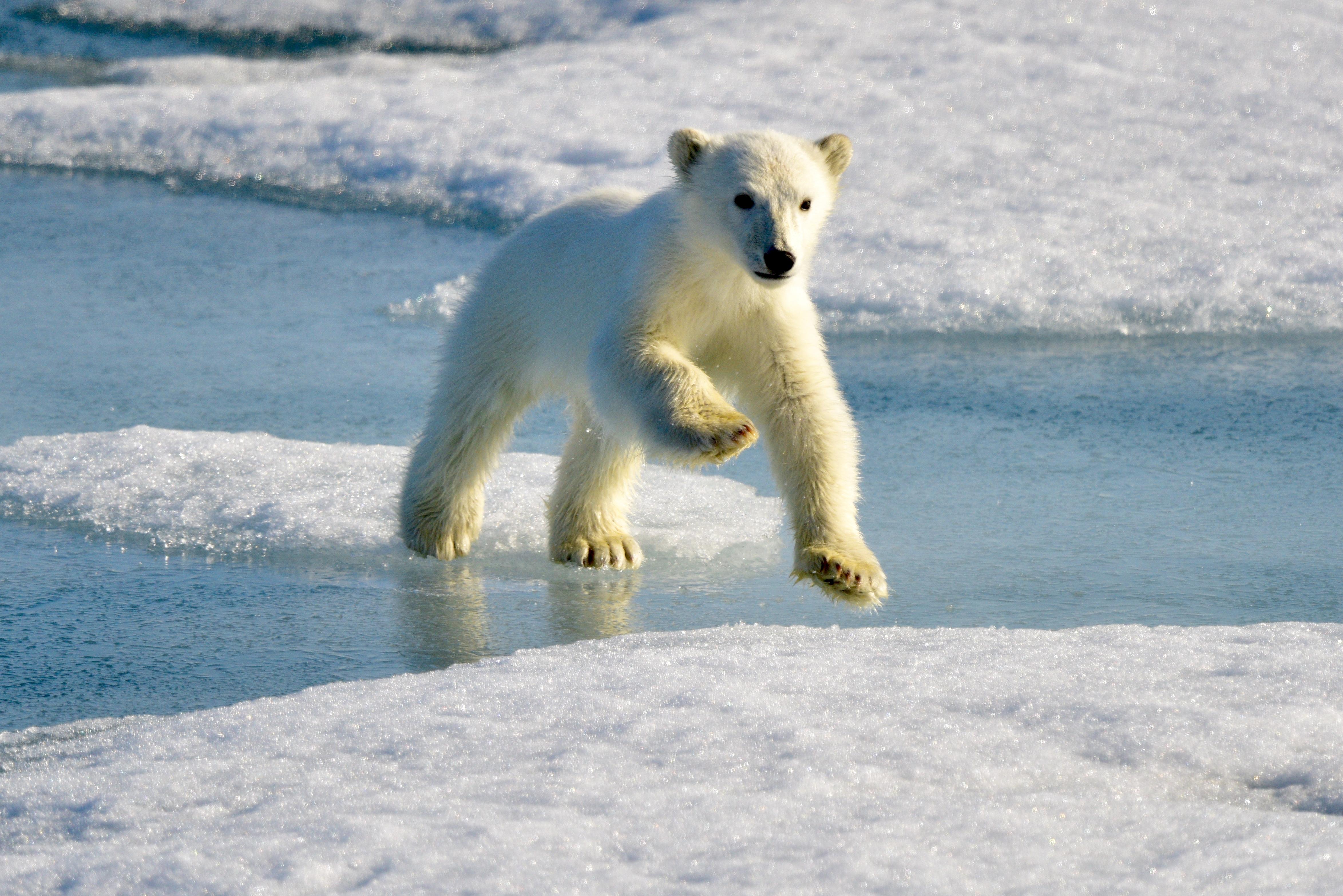 Polar Bear cub, Svalbard 2015