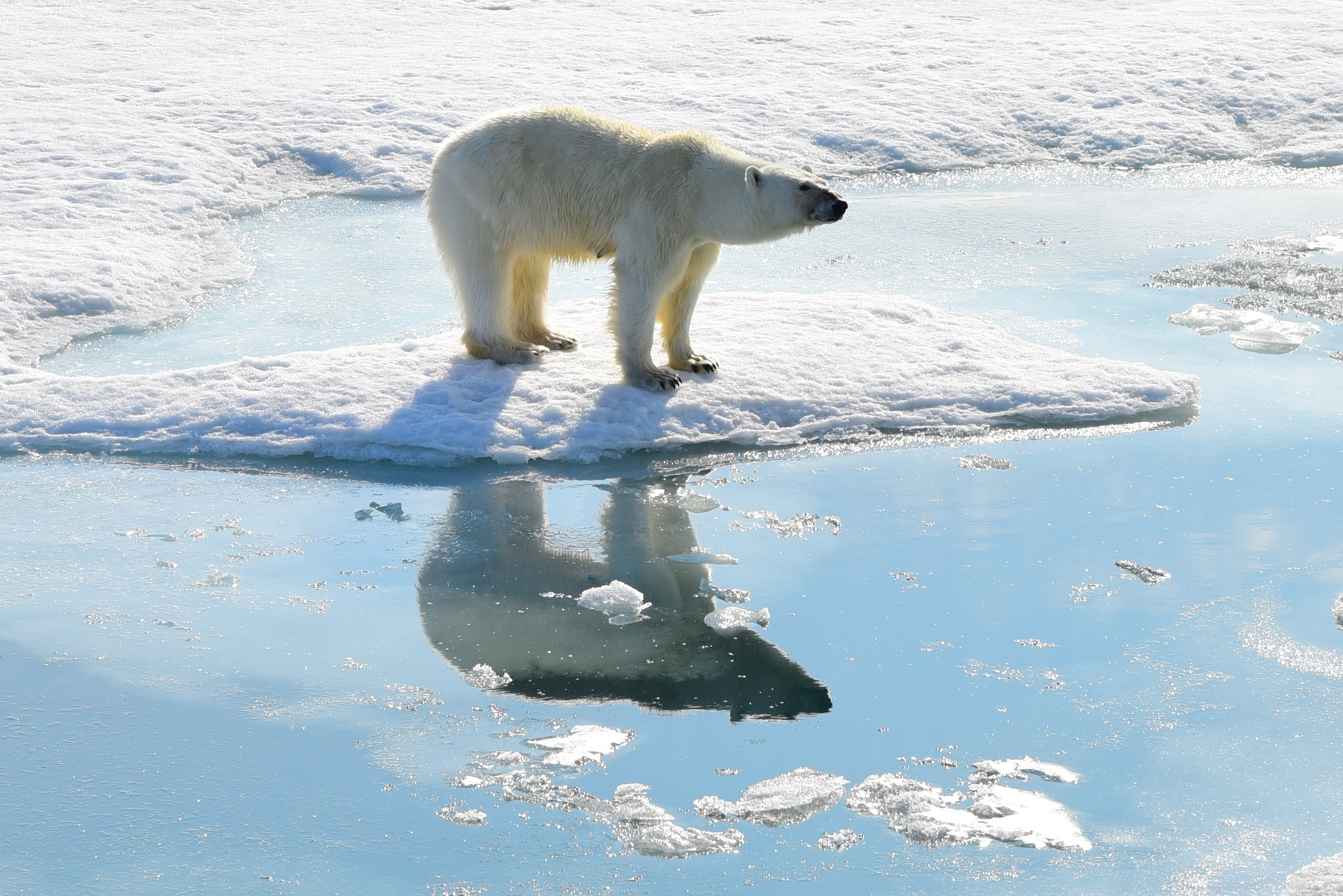 Polar Bear, Svalbard 2015