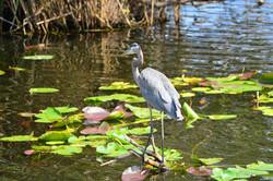 Heron Florida Everglades