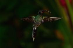 Hummingbird Costa Rica 2015