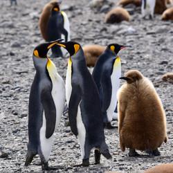 South Georgia King Penguin family