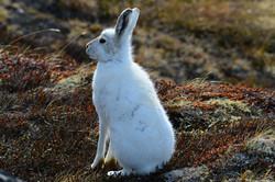 Greenland Arctic Hare