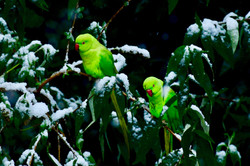 Parakeets in the snow, Brussels