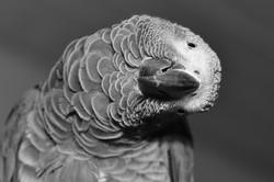 Pingu the African Grey