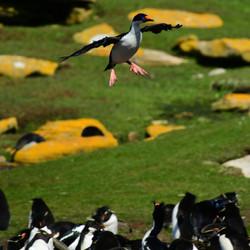 Falklands: Imperial Shag