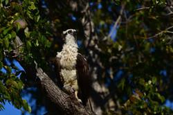 Osprey with prey, Florida 2016