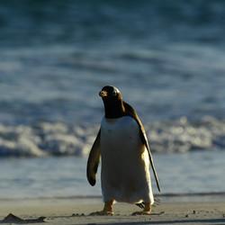 Falklands: tired Gentoo
