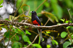 Trogon Costa Rica 2015