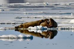 Walruses, Svalbard 2015