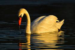 Swan Denmark 2015