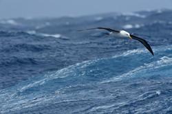 South Atlantic Blackbrowed Albatross