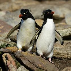 Falklands: Rockhoppers