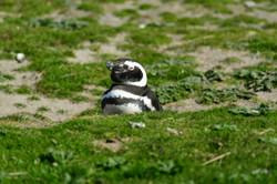 Falklands: very proud of her nest
