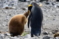 South Georgia King Penguin + chick