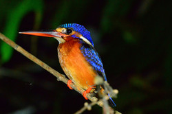 Kingfisher Borneo