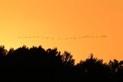 Cranes, Bornholm 2016