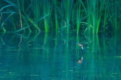 Kingfisher at dawn Belgium 2017