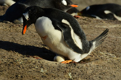 Falklands, Gentoo + egg